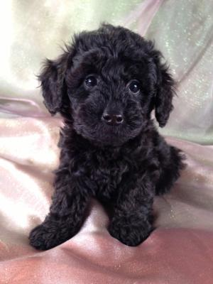 Female Schnoodle Puppy for sale #10 DOB April 14th 2013,Ship for only $150,Schnoodle Breeders in Maryland and New Jersey charge over $300.