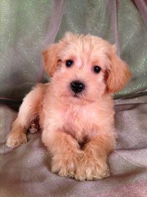 Male Schnoodle Puppy for Sale #11 Born 4-14-13, Ready June 2013! Mini Schnoodles can be shipped for only $150.