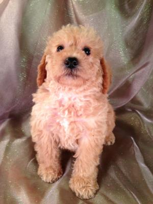Male schnoodle puppy for sale #12 DOB 4-14-13, Discounted shipping to New Jersey, Maryland and many More states! $150.