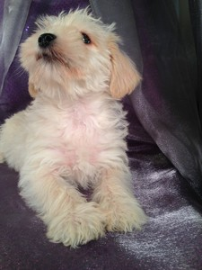 Female Miniature schnoodle Puppy #2|We have schnoodle Puppies for sale at lower Prices then Most Schnoodle Breeders in Providence RI and Newark NJ