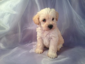 Male Schnoodle puppy for sale #10 Born March 1st 2013|If you are looking for Schnoodle breeders in Illinois, we may be close enough..Joice Iowa 50446