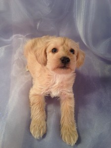 Light colored schnoodle puppies|Iowa breeder|Schnoodles for sale
