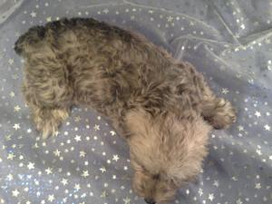 Female Schnoodle for sale in Iowa Just South of the Minnesota Border|Puppies are Ready Now! 3
