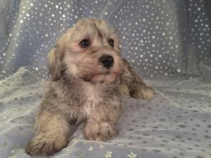 Female Schnoodle for sale in Iowa Just South of the Minnesota Border|Puppies are Ready Now! 2