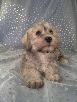 Female Schnoodle for sale in Iowa Just South of the Minnesota Border|Puppies are Ready Now! 4