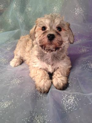 Female Schnoodle Puppy for sale #5 DOB 10-23-13 We ship Puppies for about half Price! $150. Massachusetts, New Hampshire, Maine, California, Florida, North Carolina, Illinois, not a problem!