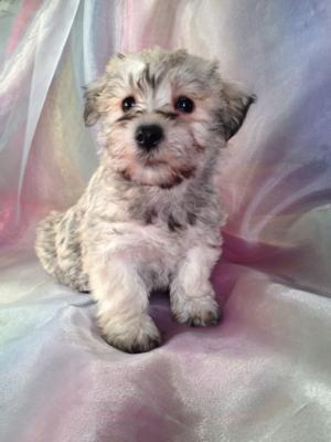Female schnoodle Puppy for sale #10 DOB 10-23-13 Breeders who sell schnoodle shipping for less than Most Breeders in NH,ME,MD,MA,FL,NC,DC,CA,WI,IL,IA,MN