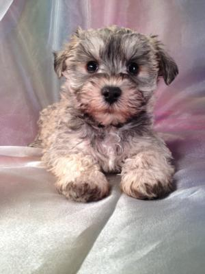 Female Schnoodle puppies for sale at purebredpups ready for Christmas 2013 -Professional Schnoodle Breeders since 1994