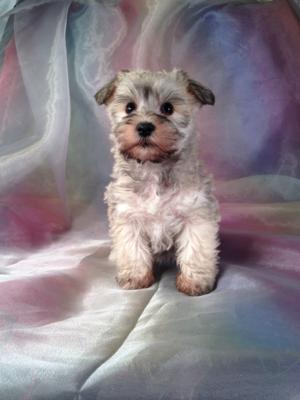 Schnoodle puppy for sale # 8 Ready December 2013 Breeding schnoodles that can be shipped anywhere from Portland Maine, Baltimore, Maryland, DC, down to Charlotte North Carolina and Fort Lauderdale Florida!