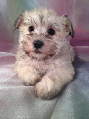 Schnoodle Puppies for sale.  This is Female Puppy ID#9. Born Oct. 23rd 2013 She can fly to MA,MD,FL,CA,IL,DC and many other states for only $150.