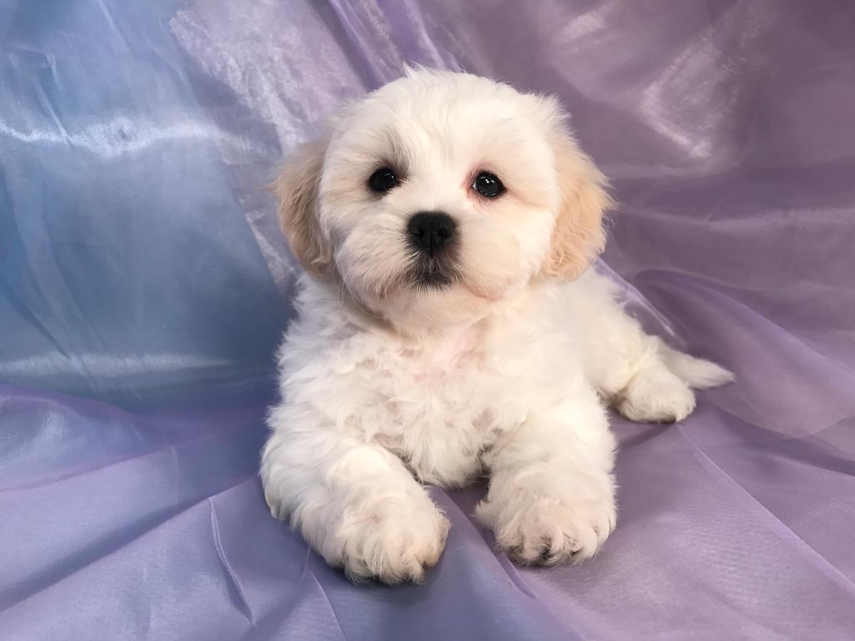 Shih Tzu Bichon Puppies For Sale Shih Tzu Bichon Breeder