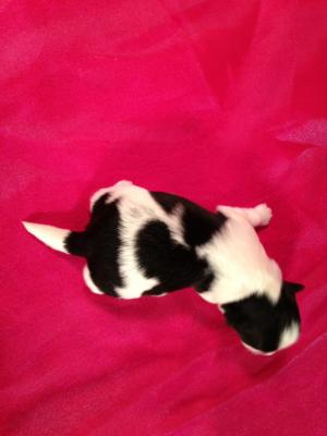Male Teddy Bear Puppy for Sale #6 DOB 3-10-15 Black and White Puppies! 3