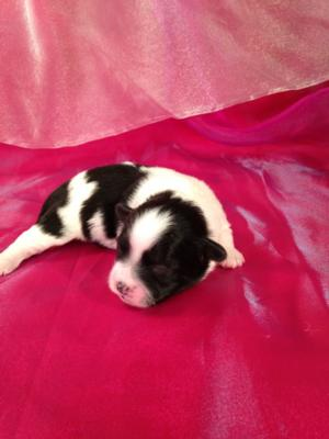 Male Teddy Bear Puppy for Sale #6 DOB 3-10-15 Black and White Puppies! 4