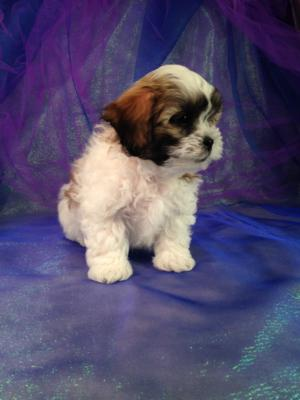 Male teddy bear puppy for sale DOB 2-5-15 The mother is a Shih tzu and the father is a Bichon. 2