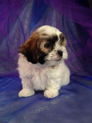 Male teddy bear puppy for sale DOB 2-5-15 The mother is a Shih tzu and the father is a Bichon. 4