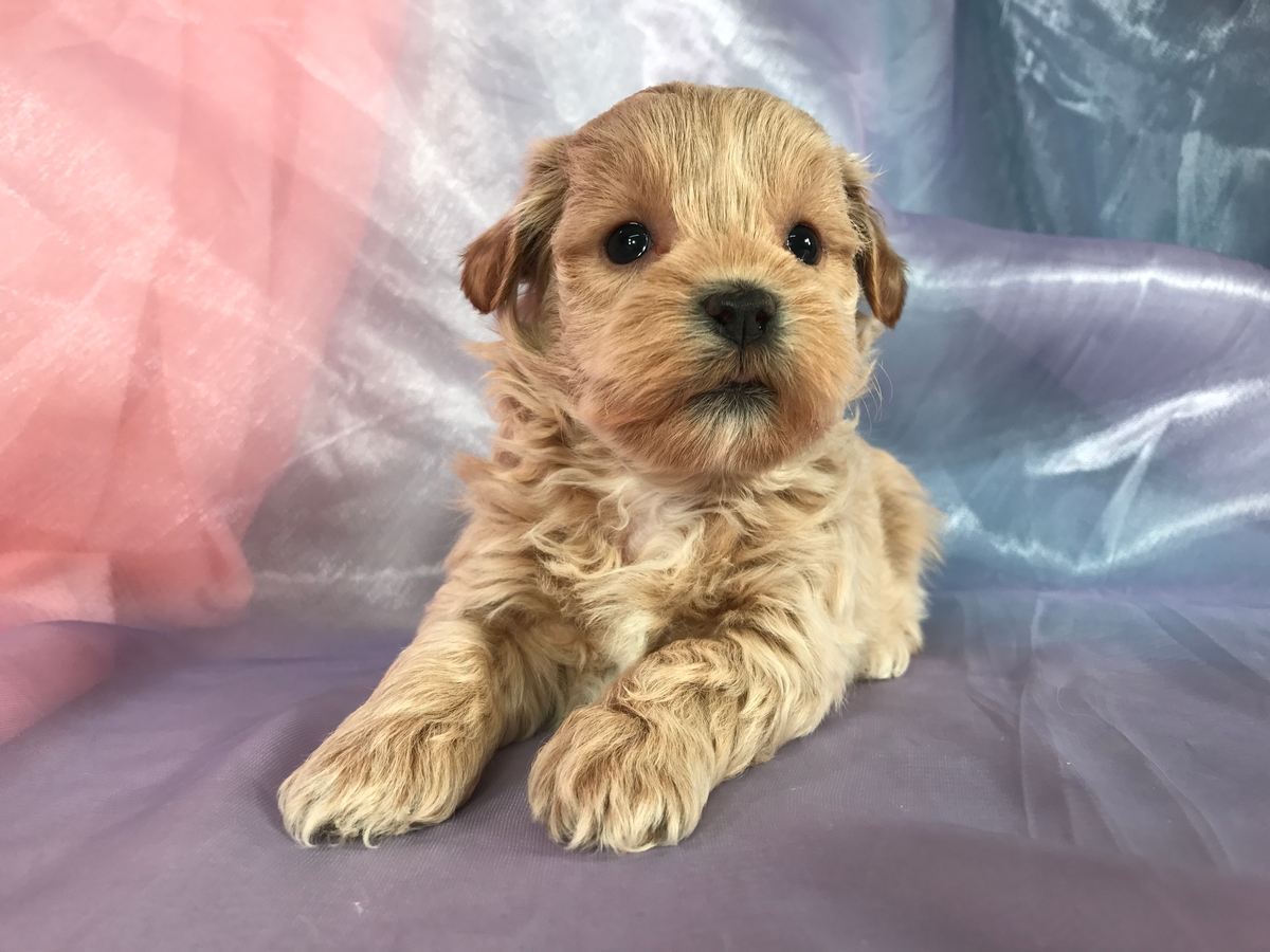 Shih tzu Poodle Puppies for Sale DOB 10-10-2018 $875