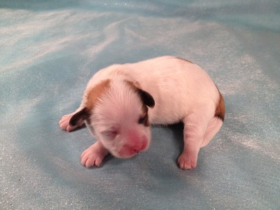 Teddy Bear puppies for sale|Iowa Breeder|Shipping available|Puppy #1 3