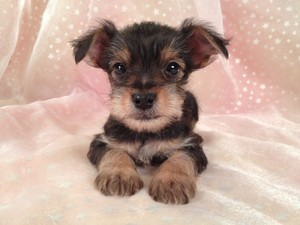 Yorkie and Miniature Schnauzer|Puppies for sale|Snorkie Breeder|Visa and MasterCard Accepted|Shipping $150|South of Albert Lea, Minnesota|Male Snorkie Puppy#17