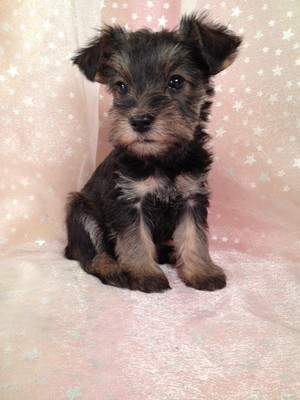 Yorkie Breeder with Snorkie Puppies for sale|Dad Yorkie|Mom Miniature Schnauzer|Ready By Christmas 2012|Snorkie Female for sale #19