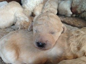 Male Cream standard Poodle puppies for sale By an Iowa Poodle Breeder