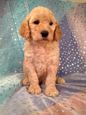 Male Standard Poodle Puppies for sale in Iowa. Professional Breeder located near Minnesota, Illinois, and Wisconsin!