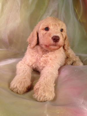 Standard poodle puppies just a few miles south of Minnesota! Professional Puppy breeders with apricot males that have green eyes for sale!