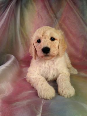 Moyen Poodle Puppies for Sale | Breeder in Iowa