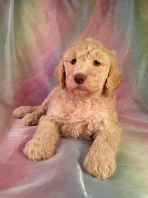 Standard Poodle puppies for sale, Cream, Apricot, Female, DOB 8-1-14. Standard poodle breeders in North Iowa who offers easy pick up for puppy breeders and buyers from Minnesota, Wisconsin, and Illinois. This poodle puppy for sale is up to breed standard!