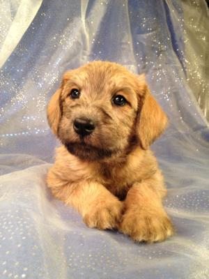 Iowa's top Dog Breeder has a Litter of Standard Schnoodle Puppies for Sale.  Easy Pick up for Puppy Shoppers in Wisconsin, Illinois, Iowa, and Minnesota.