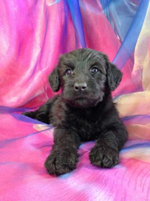 Black Female Schnoodle Puppy for Sale