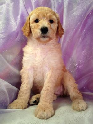 Cream and Red Standard Poodles Ready Soon, Joice Iowa 50446