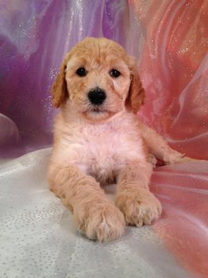 Iowa's Top Dog Breeder Has A Standard Poodle Puppy For Sale!