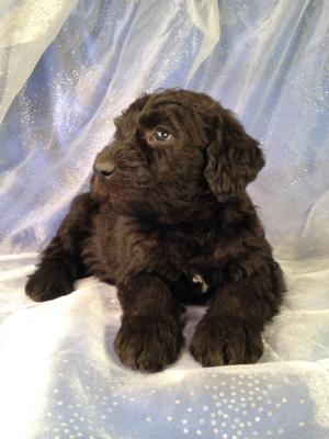 Black and White Female Standard Schnoodle Puppy for sale in Iowa #1 DOB 12-6-14 $950