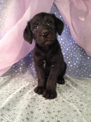 Iowa Standard Schnoodle Breeders Puppies For Sale