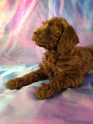 Male Standard Schnoodle Puppy for sale #6 Professional Standard Schnoodle Breeder Near Wisconsin, Illinois, and Minnesota!