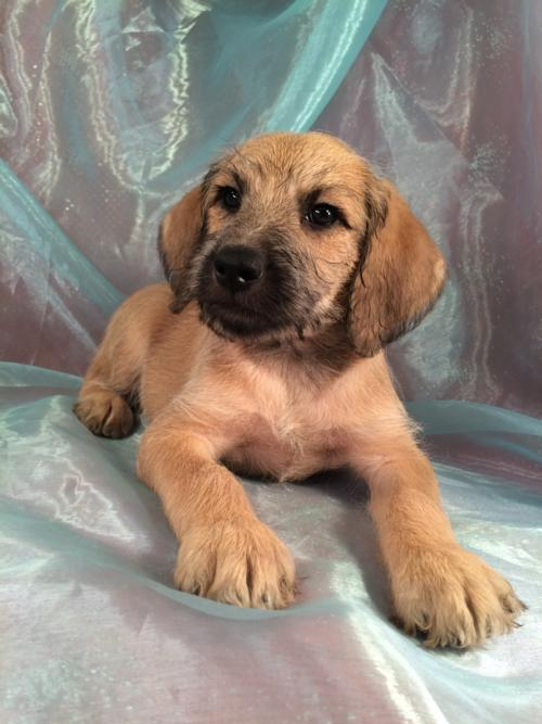 For Sale- Standard Schnoodle D.O.B. 2-14-16 Tan Male Puppy