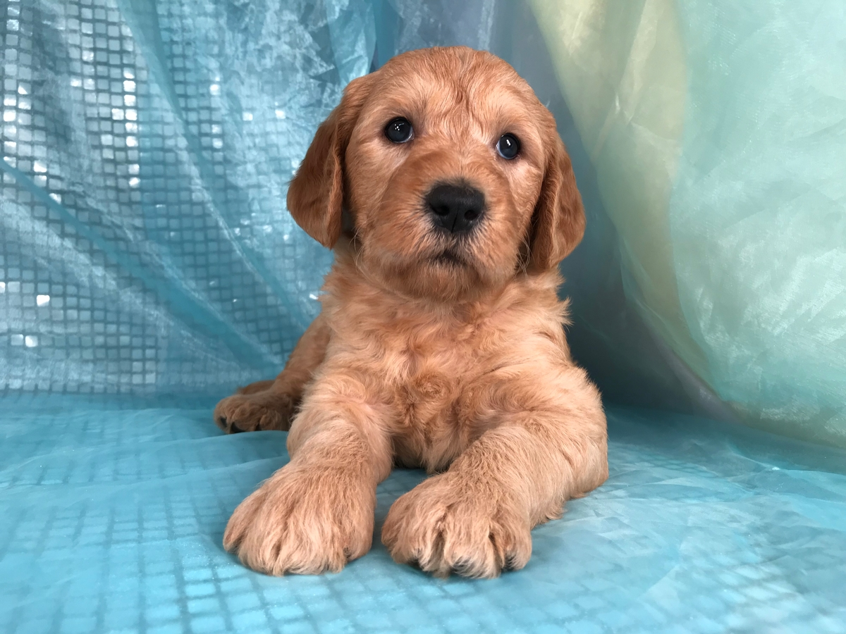 Labradoodle Breeders From Iowa With Pups Available Now