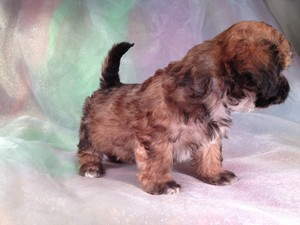 Male Teddy Bear Puppy for sale #12 |Teddy Bear puppies for sale in