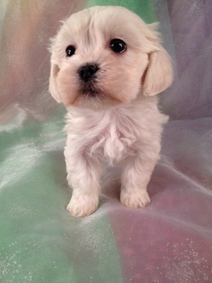 Female Teddy Bear Puppy for sale #9 Ready Jan.15th 2013|Shipping $150 to Newark NJ,Boston MA,Philadelphia PA, and many more Cities