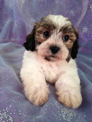 Male Shih tzu Bichon Puppy #7|Are you Looking For teddy Bear Puppies for sale in Minnesota, Iowa, Illinois, or Wisconsin? Purebredpups is in North Iowa!