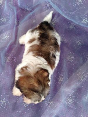 Female Shi tzu Bichon Puppy for sale #5 DOB April 20th 2013|Teddy bear Breeder Located Perfectly for Illinois, Wisconsin, Minnesota and Iowa shoppers!