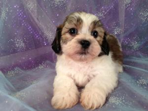 Male Bichon Shih tzu Puppy for sale #4 Born April 20th 2013|Shipping only $150 to RI,GA,NJ,PA,NY,NH,VA,MD,MA,DC,FL,NC, and Many More!