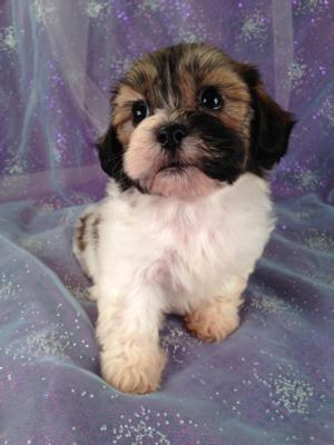 Female Teddy Bear puppy for sale #1 Born April 2013|Looking for a good Dog Breeder Located in Iowa?