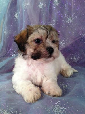 Male Teddy bear Puppy for sale in North Iowa #8 Born 4-20-2013|North Iowa Breeder Breeding Healthy Teddy Bear Puppies