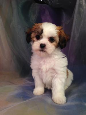 Female Teddy bear Puppy for sale #5 Born Aug. 9th 2014 If you are looking for Teddy Bear Puppies for sale in Illinois, you should consider Purebredpups. Brian and Karen are located in Joice Iowa.