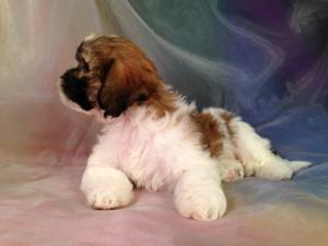 Teddy Bear Puppy #6 Lhasa Bichon Born 8-9-14 Mixed Breed Puppies can be Sent Home at Eight Weeks.  Just a Short Drive for Customers From IL, WI, IA, and MN.