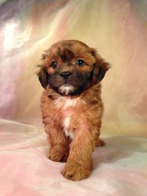 Wisconsin, Illinois, Minnesota, and Iowa Teddy Bear Shoppers are Very Lucky to be Located within a Short Driving Distance of Purebredpups!  Mixed Breed Puppies for Sale only Cost $675