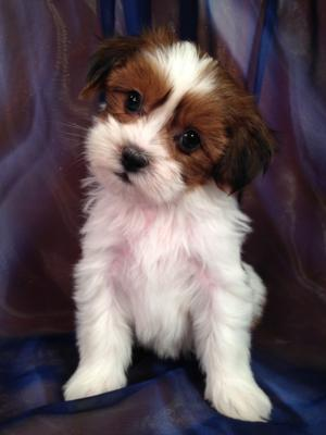 Puppy for sale #1 DOB 2-26-2015 Professional Teddy Bear Breeders