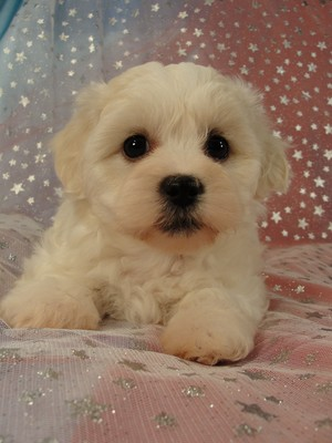 Iowa Dog Breeder with a female shih Tzu Bichon Puppy for sale