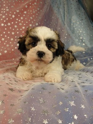 Male Teddy Bear Puppy for sale in Iowa 2012
